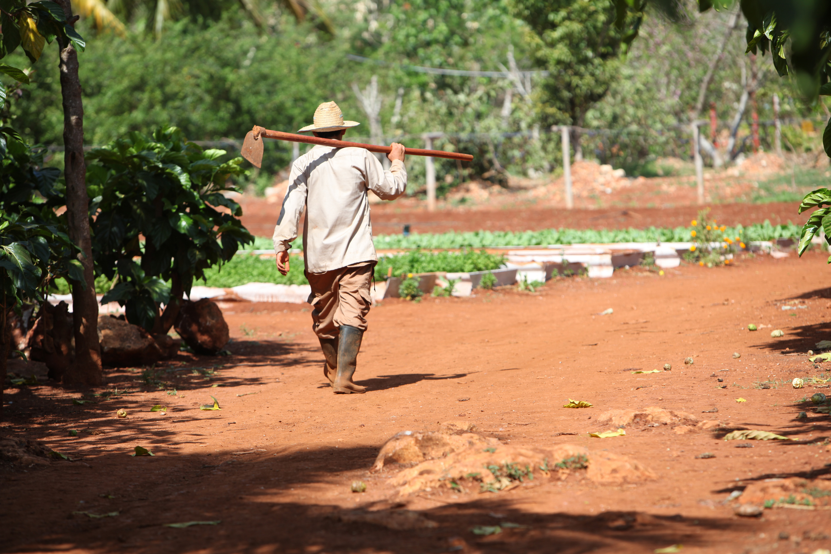 A Cuban farmer heads back into the fields at the Organopónico Vivero Alamar. The organic farm was started out of the necessity for food in the 1990s and is now thriving. Because the farm sells to restaurants and hotels that cater to tourists, the farmers are able to make a better salary than doctors.