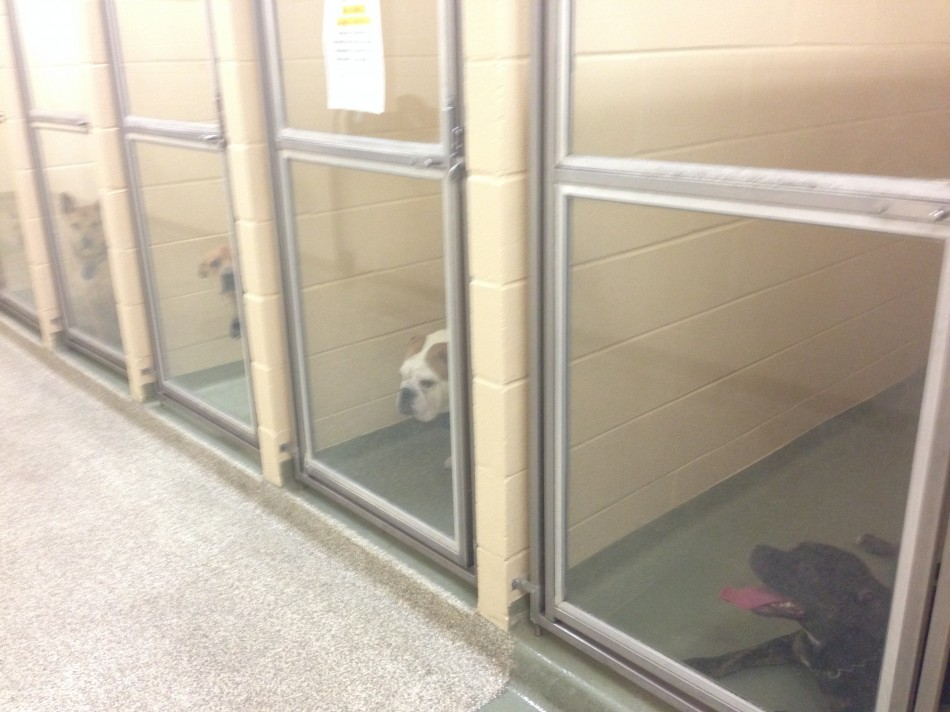 Dogs await adopters in one of the Sharonville SPCA's three kennel rooms.